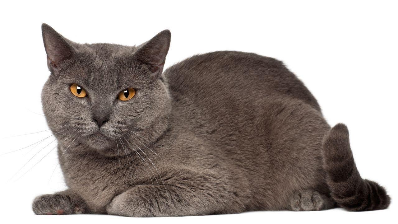chartreux-cat-breed