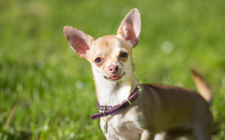chihuahua-dog-history