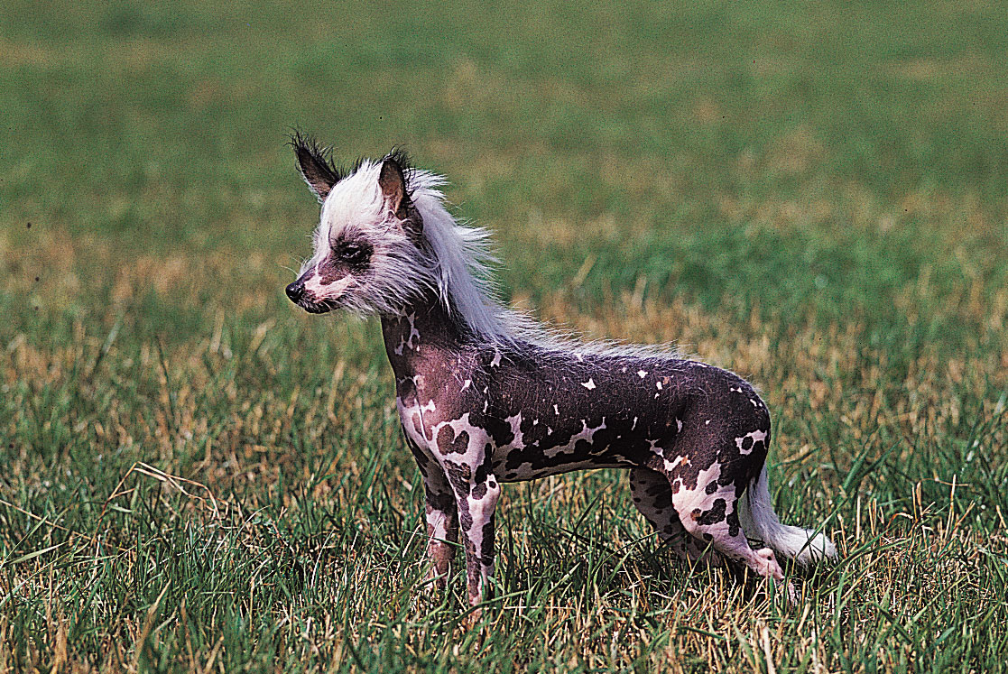 chinese-crested-dog-chacterstics