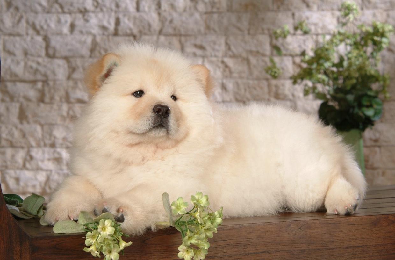 chow-chow-dog