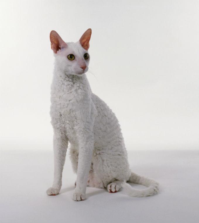 cornish-rex-cats