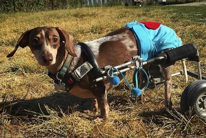 dachshund-back-problems-causes