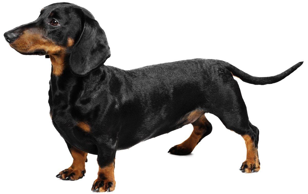 dachshund-dog