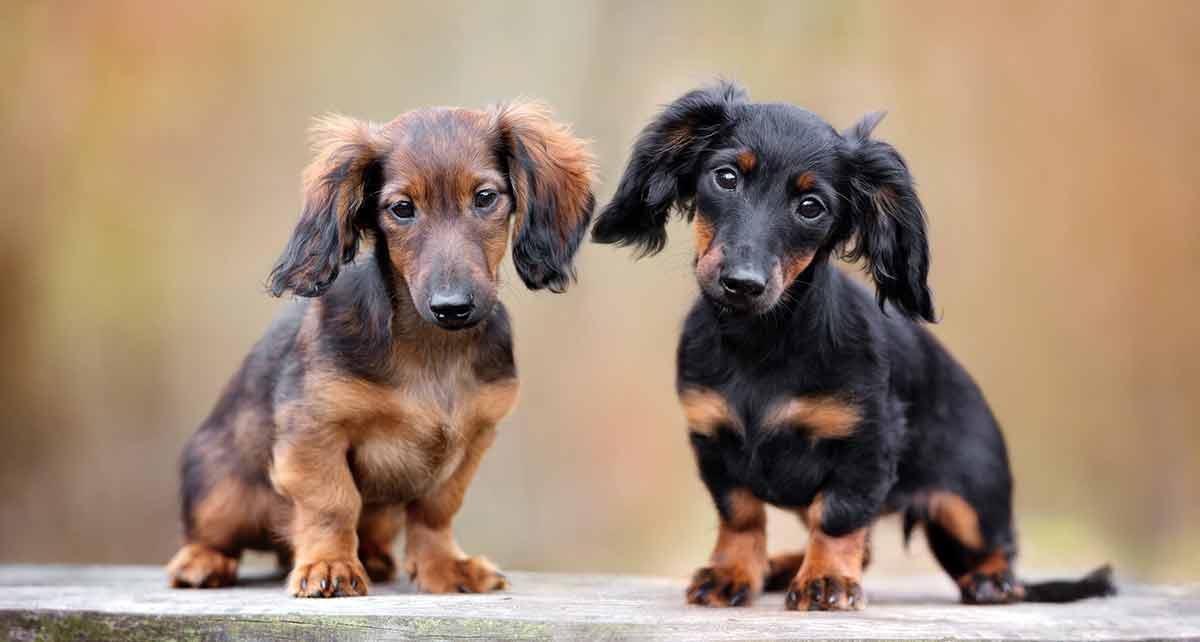 dachshund-puppies2