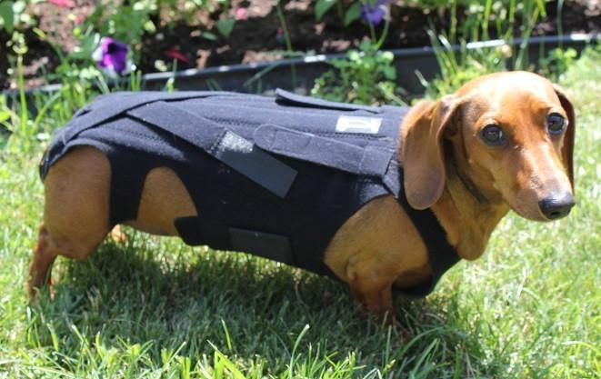 dachshund-back-problem