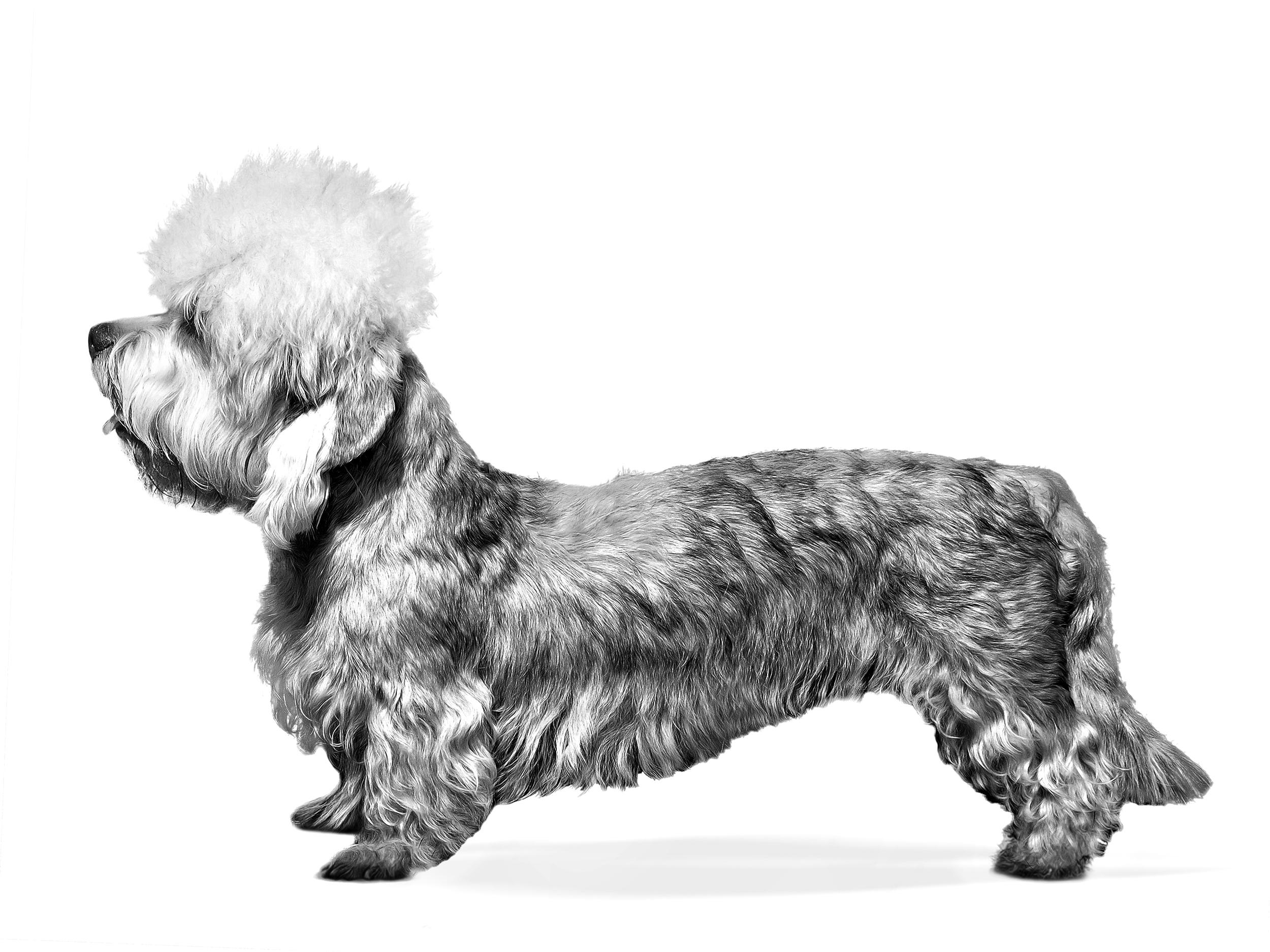 dandie-dinmont-terrier-history