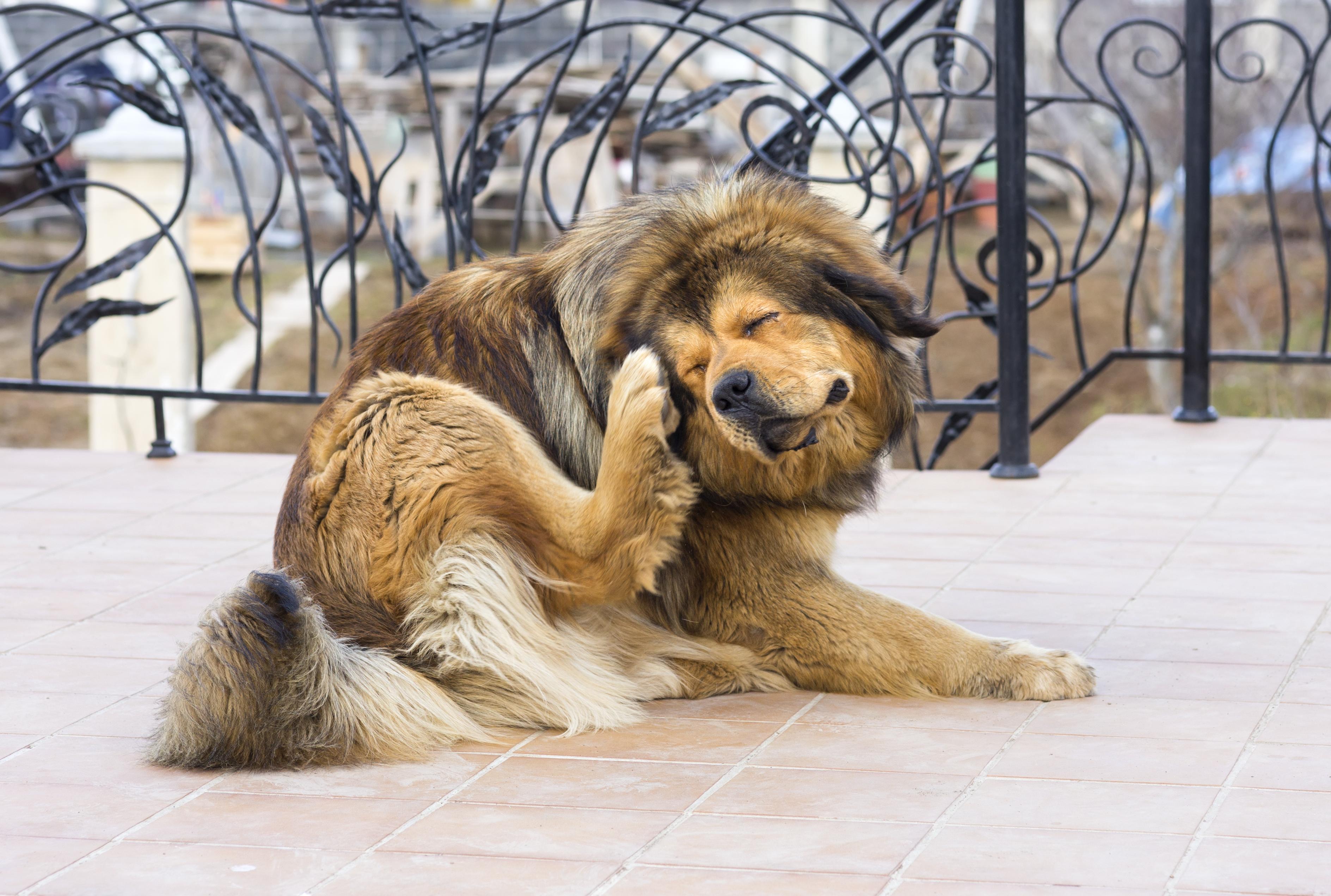 dog-fleas