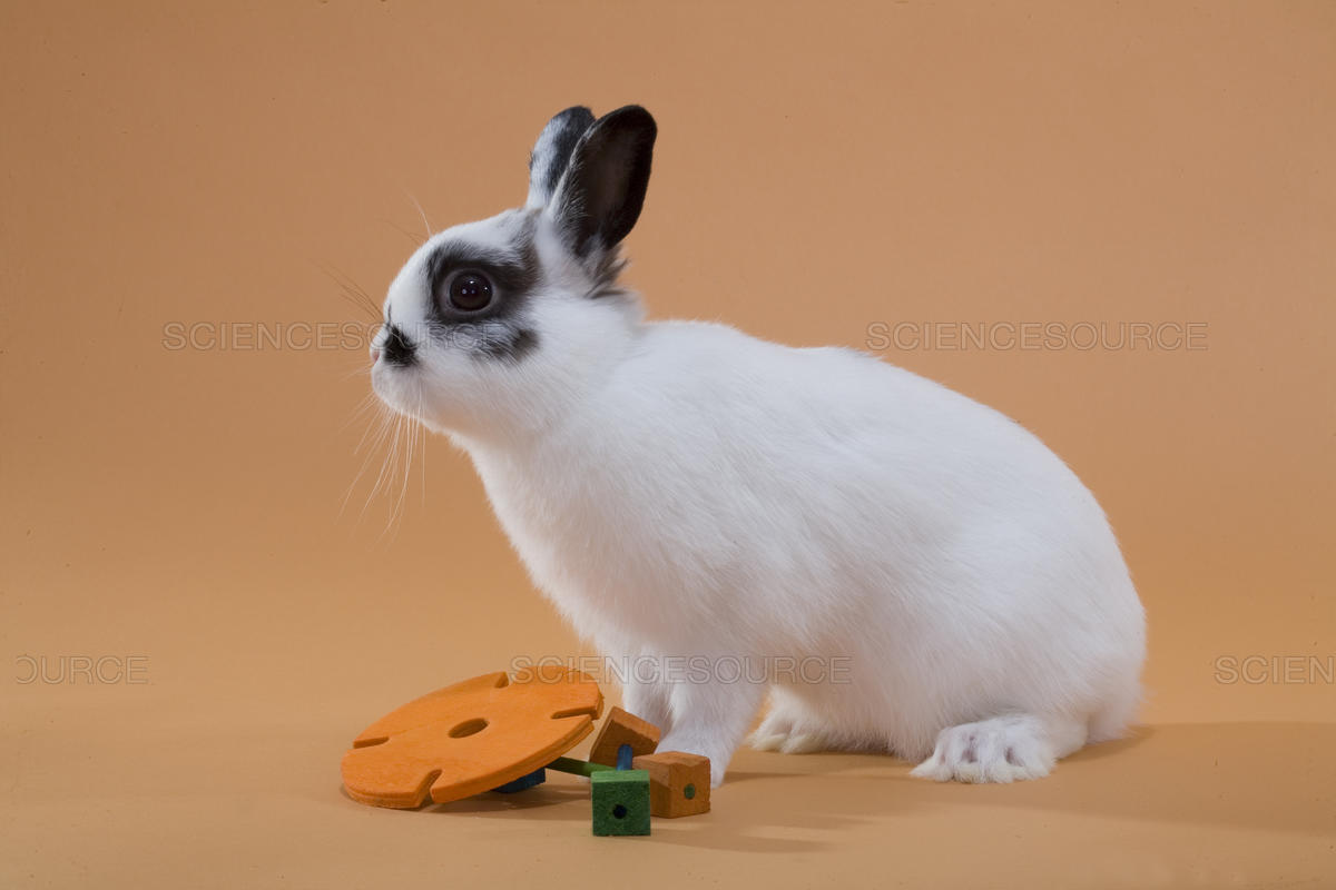 dwarf-polish-type-of-rabbits