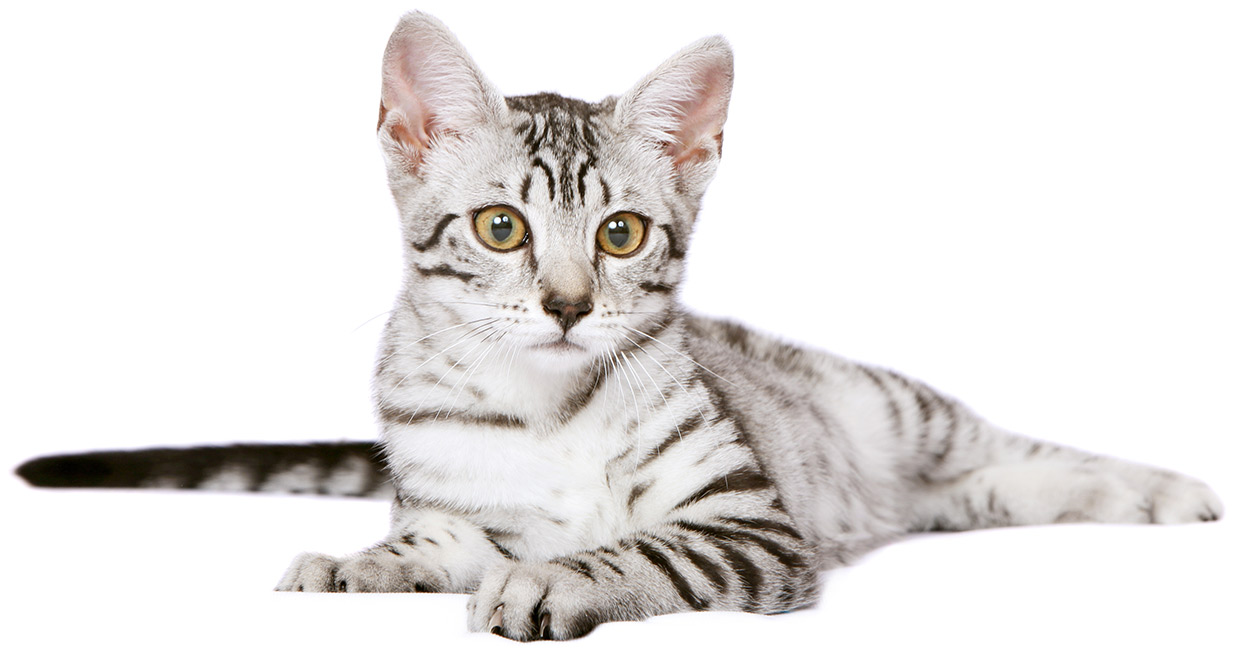 egyptian-mau-cat