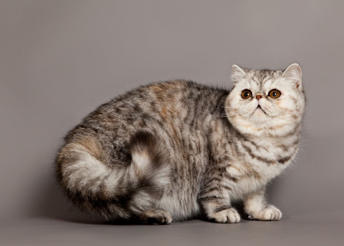 exotic-cat-breed