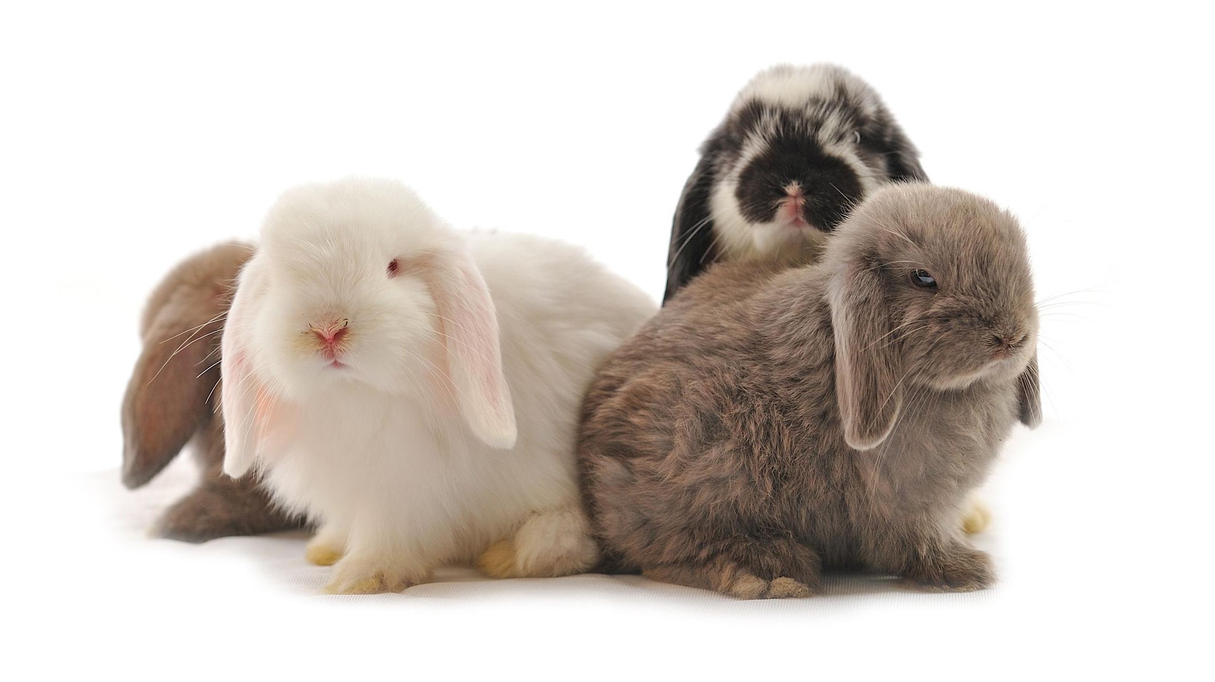 fertilty-rabbits