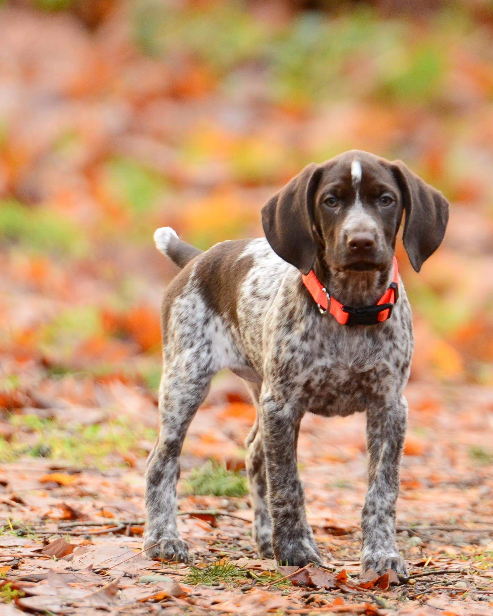 german-shorthaired-pointer-characterstics