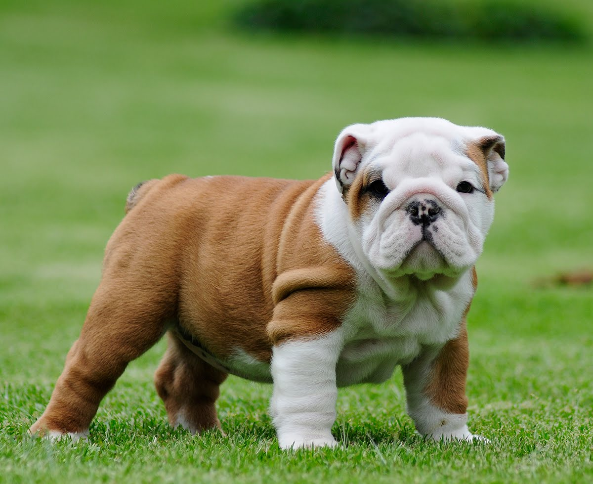 girl-puppies-bulldogs