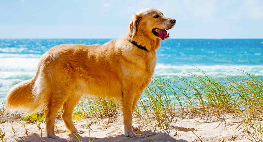 golder-retrivers-dog