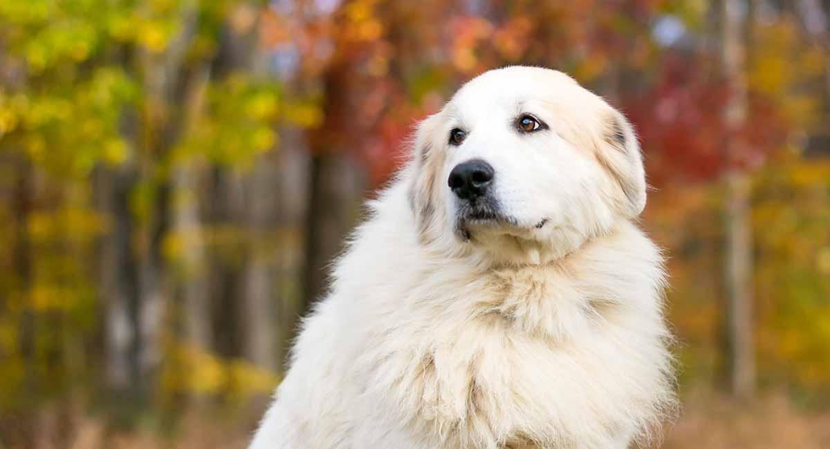 great-pyrenean-dog