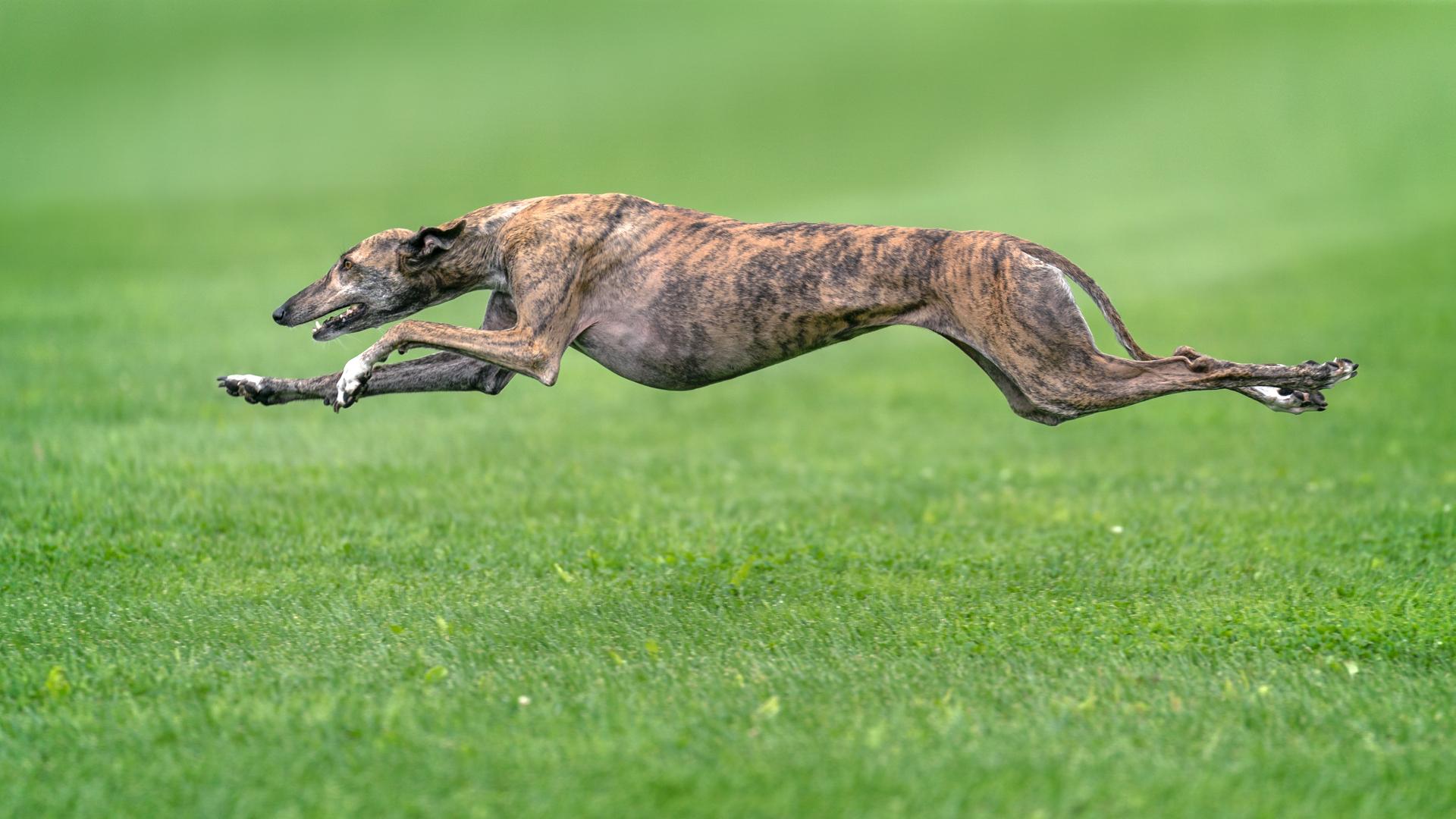 greyhound-dog-charchterstics