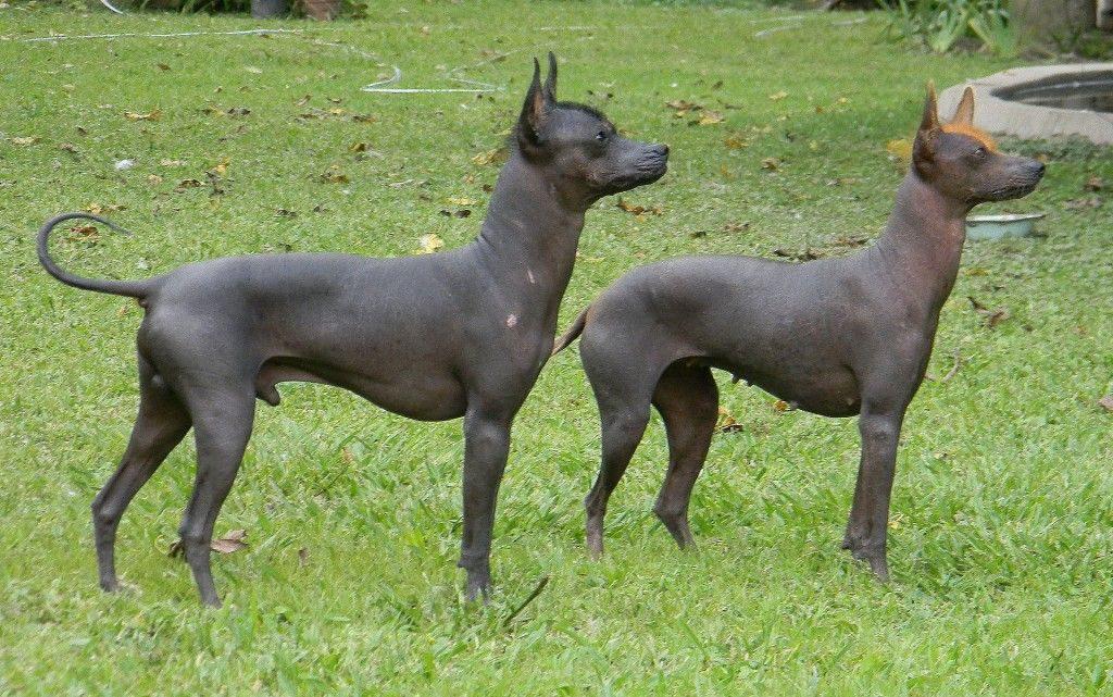 hairless-khala-dog