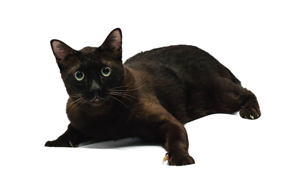 havana-brown-cat-breed