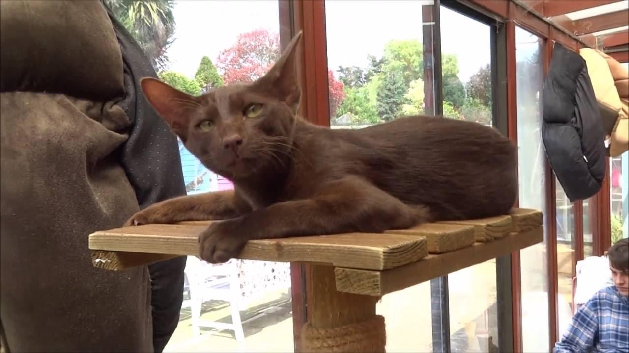 havana-brown-cat-care
