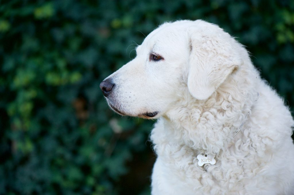 hungarian-kuvasz-dog-chacterstics