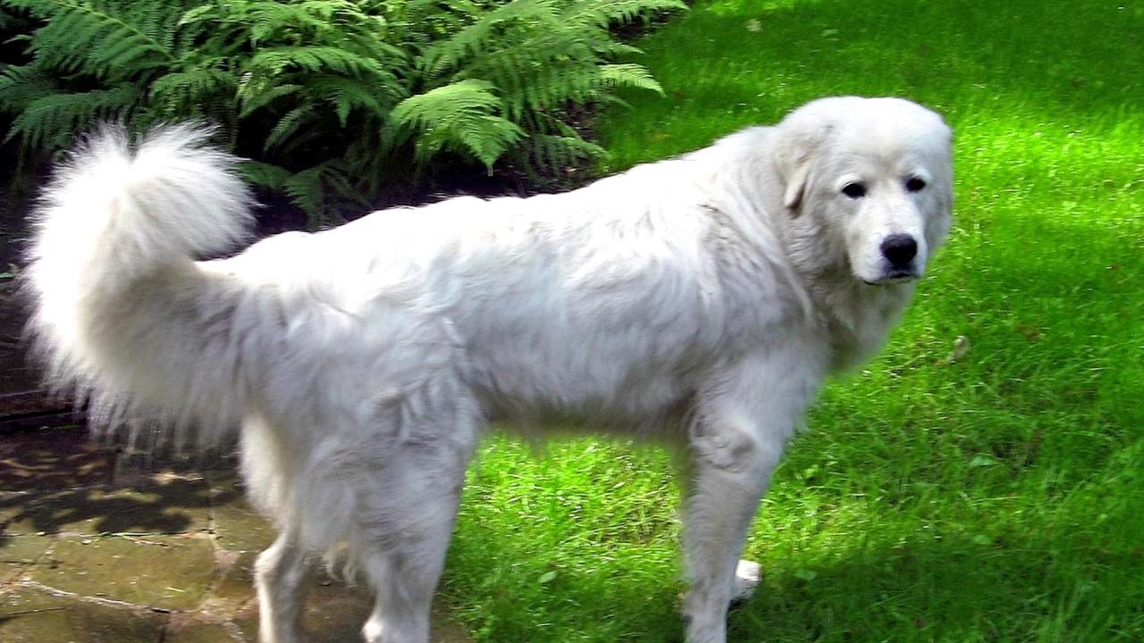 hungarian-kuvasz-dog-history
