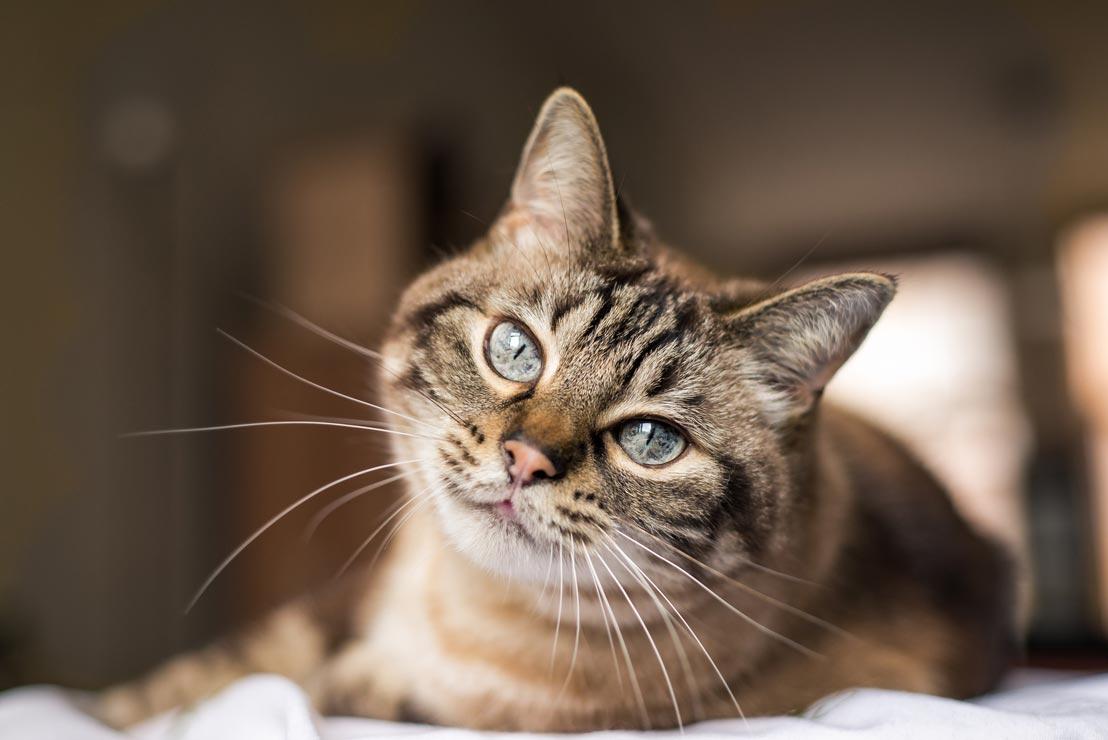 feline-leukemia