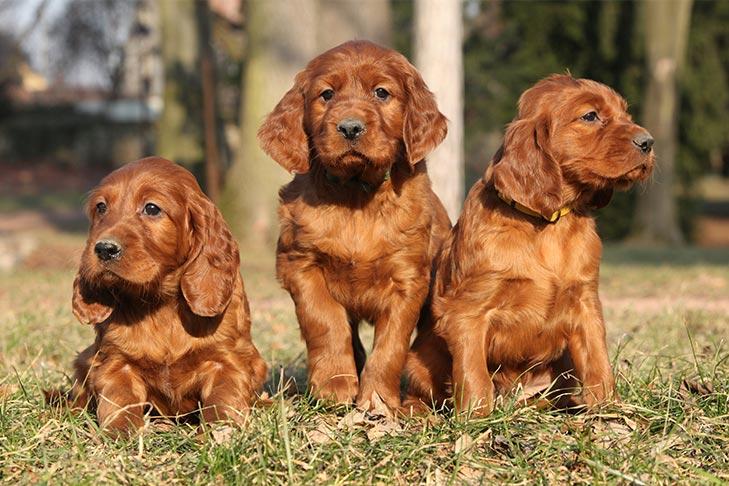 irish-setter-kid-friendly-dogs