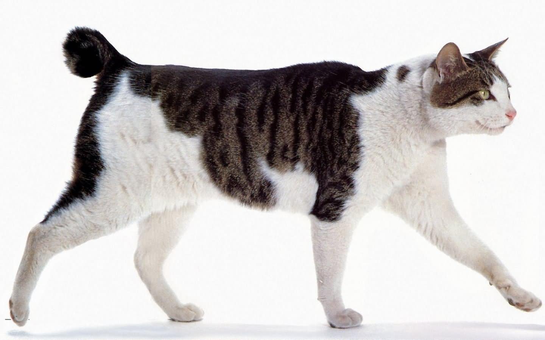 japanese-bobtail-cat