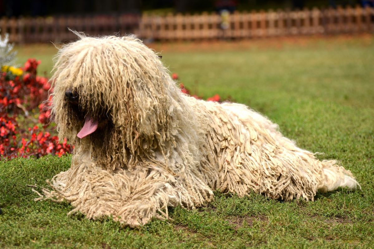 komondor-dog-breed
