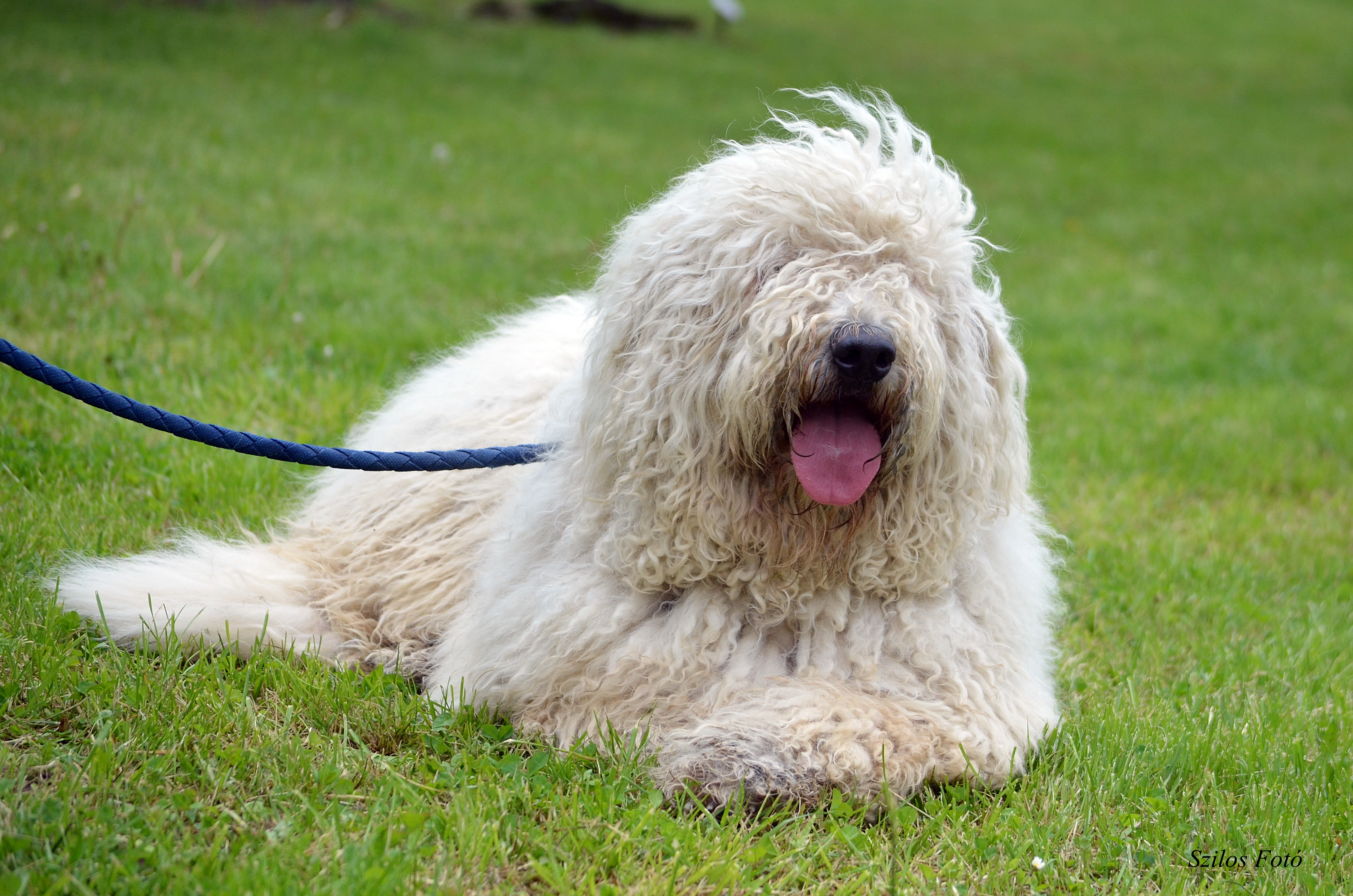 komondor-dog