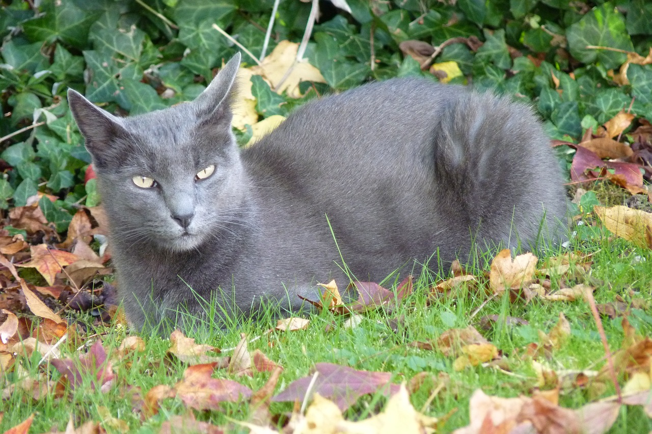 korat-cat-breed