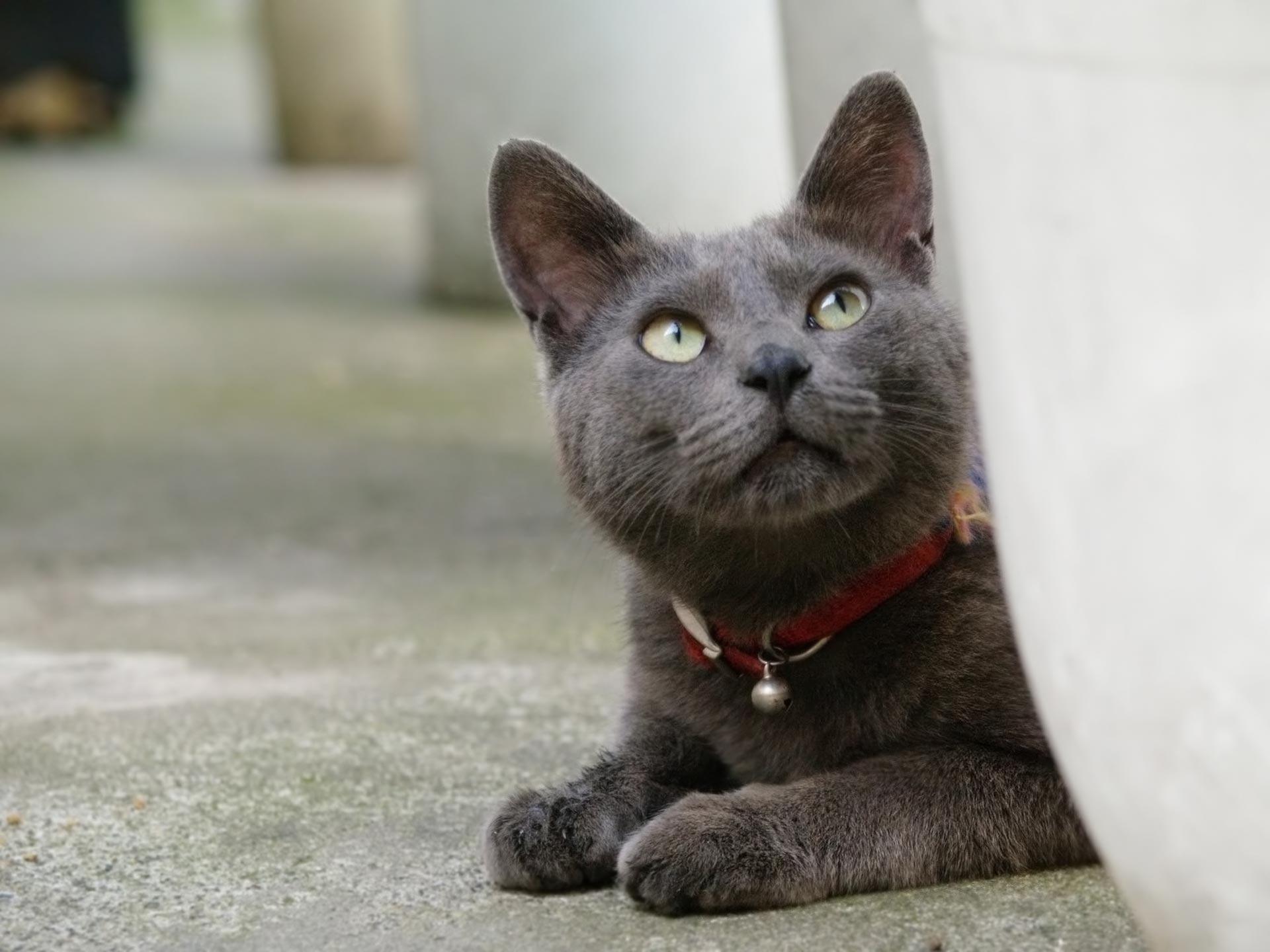 korat-cat-grooming