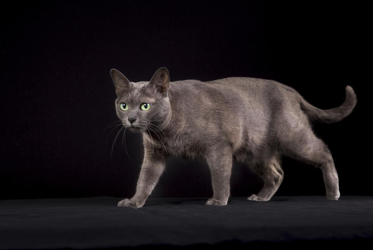 korat-cat-history