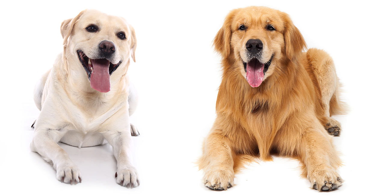 labrador-retriever-vs-golden-retriever