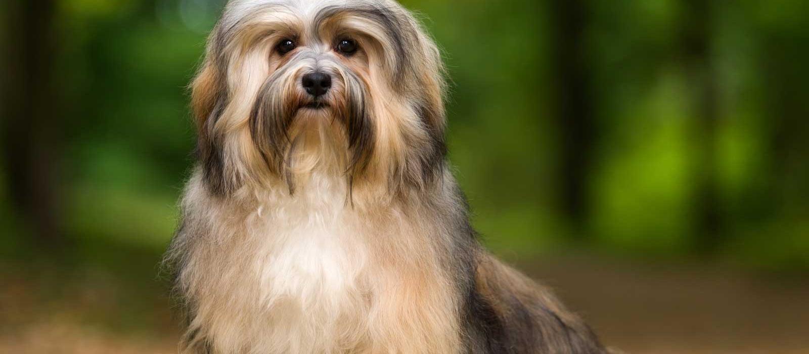 lowchen-dog-breed
