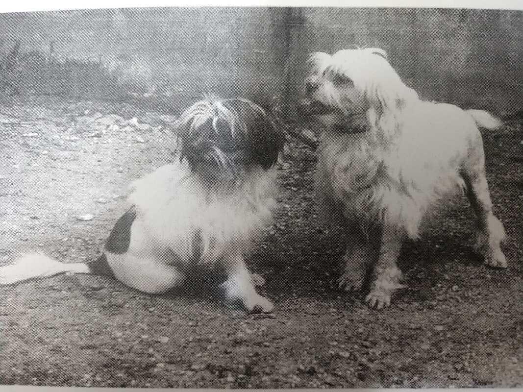 lowchen-dog-history