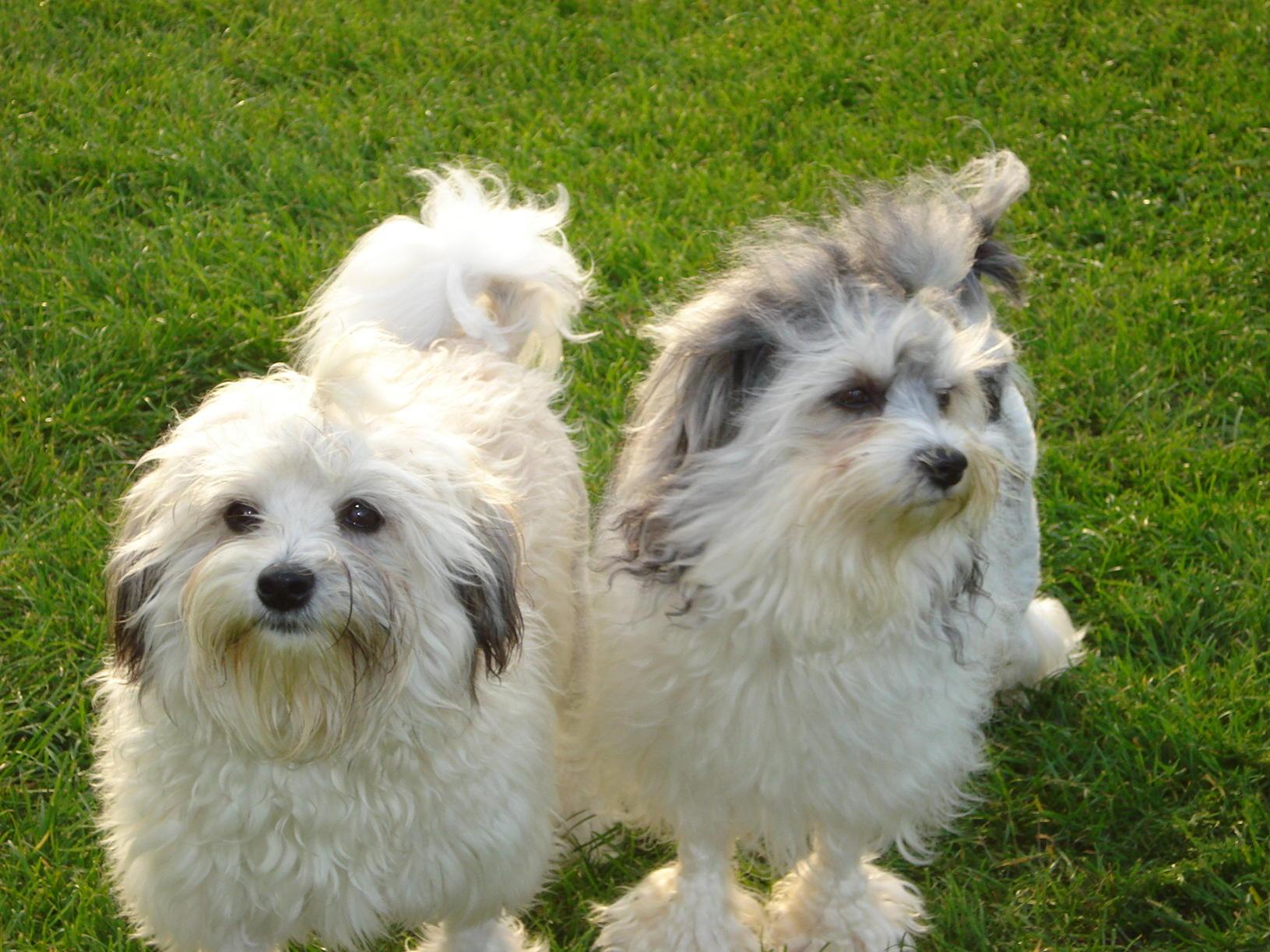 lowchen-dog