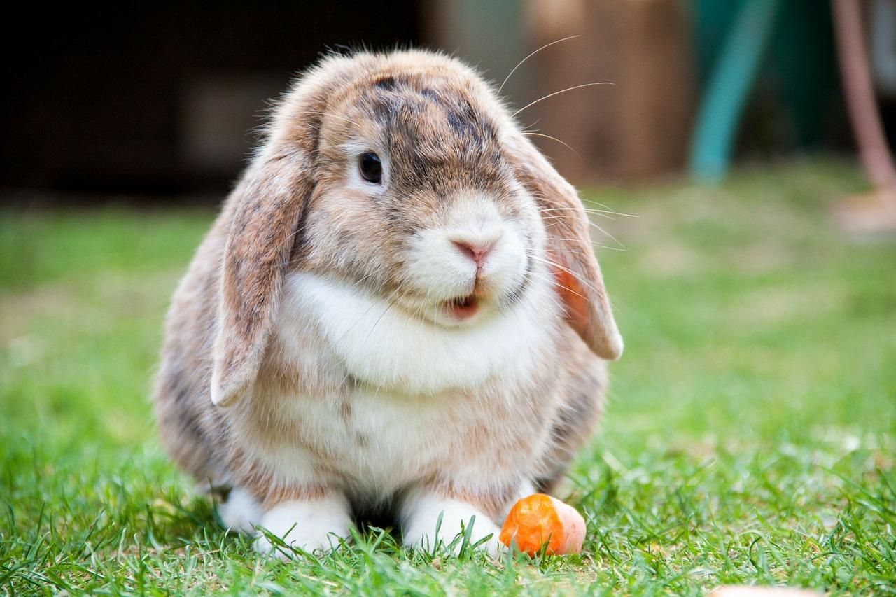 mastitis_in_rabbits_causes_and_treatment