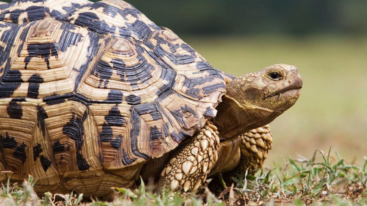 Types-of-Tortoise