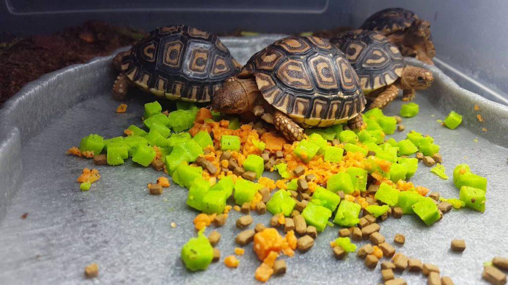 leopard tortoise food