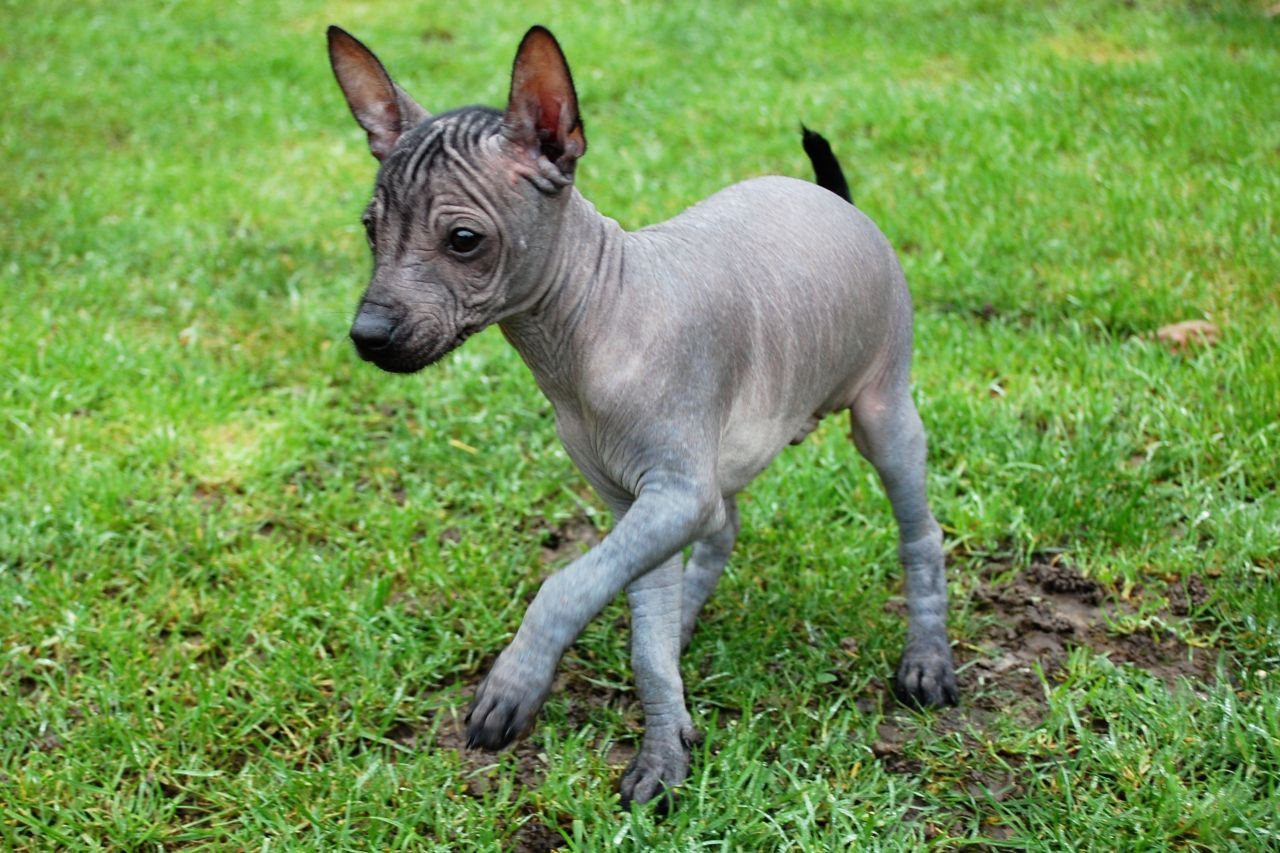 mexican-hairless-dog