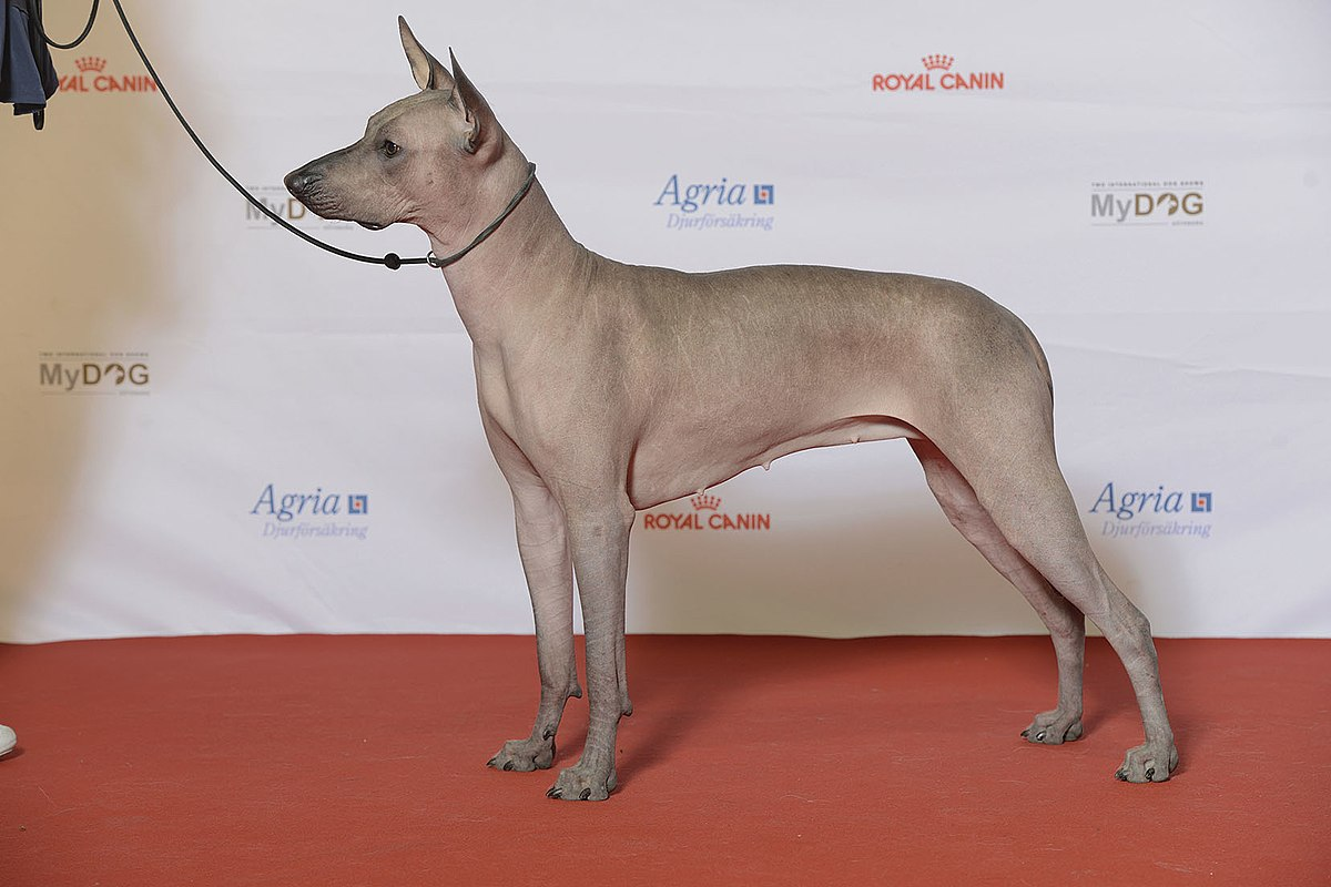 mexican-hairless-dogs