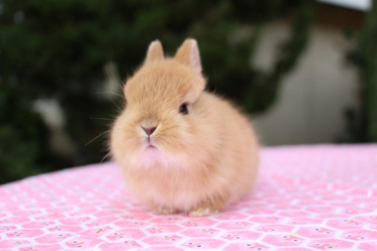 type-of-rabbit-netherland-dwarf
