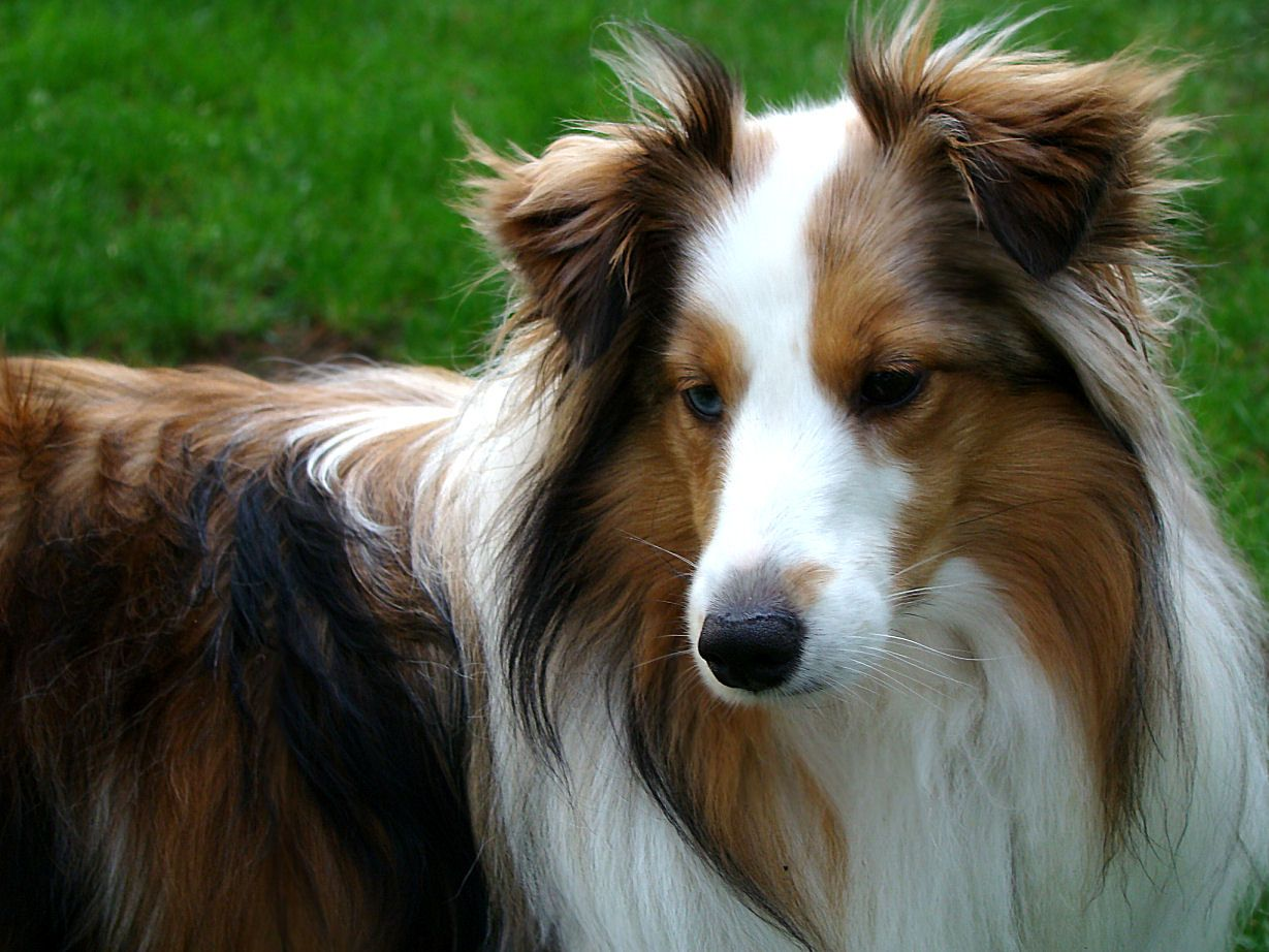origin-of-the-shetland-sheepdog