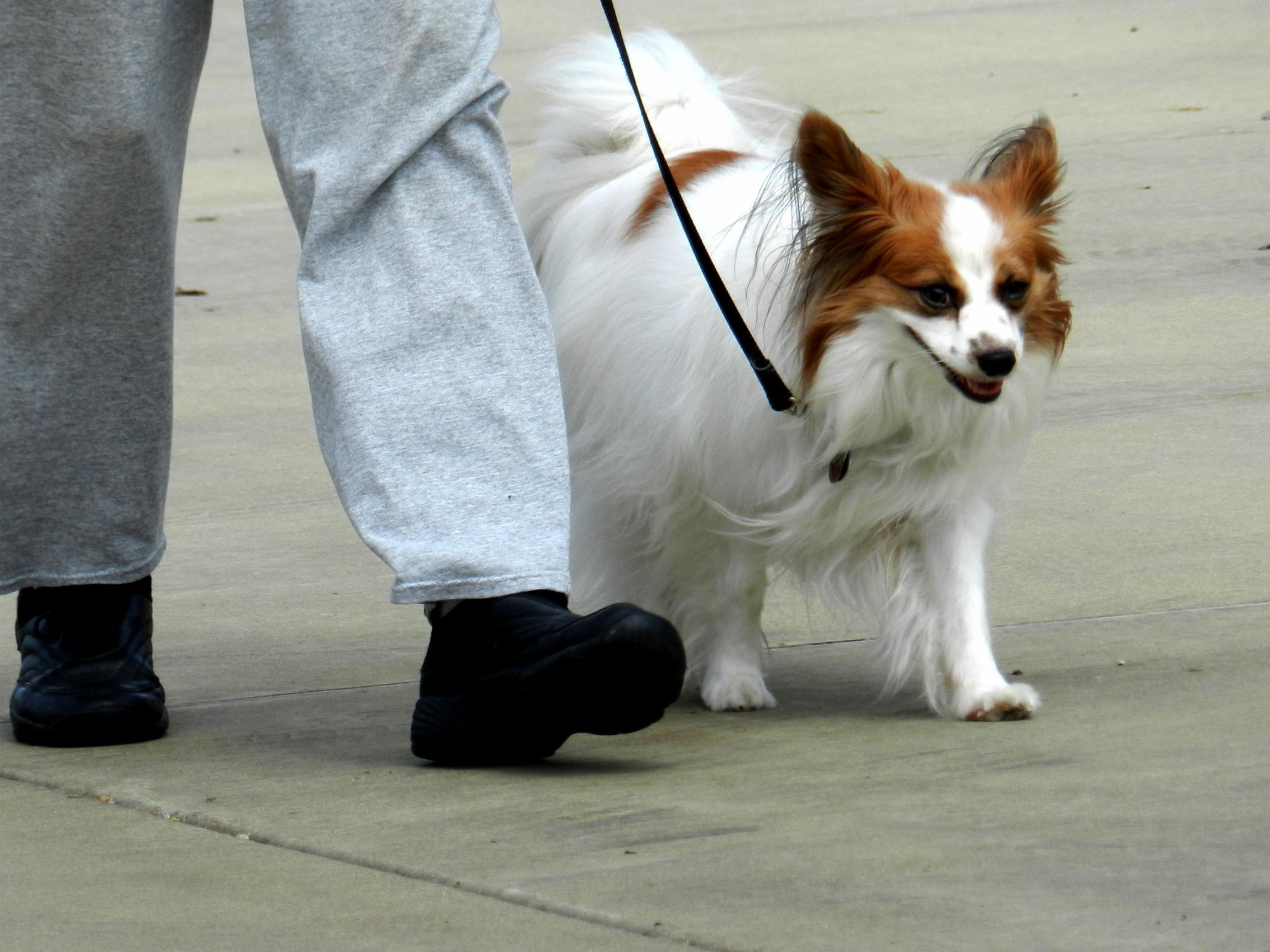 papillion-dog-training