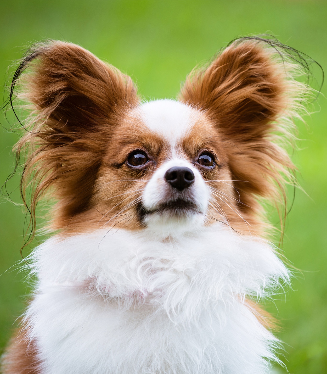Papillon Dog Breed Trainability, Temperament & Other Best Facts