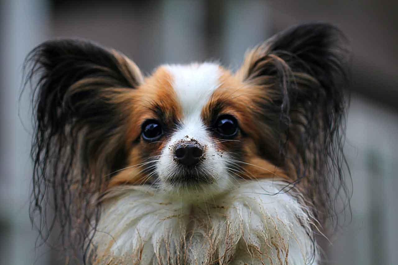 papillon-dog-grooming