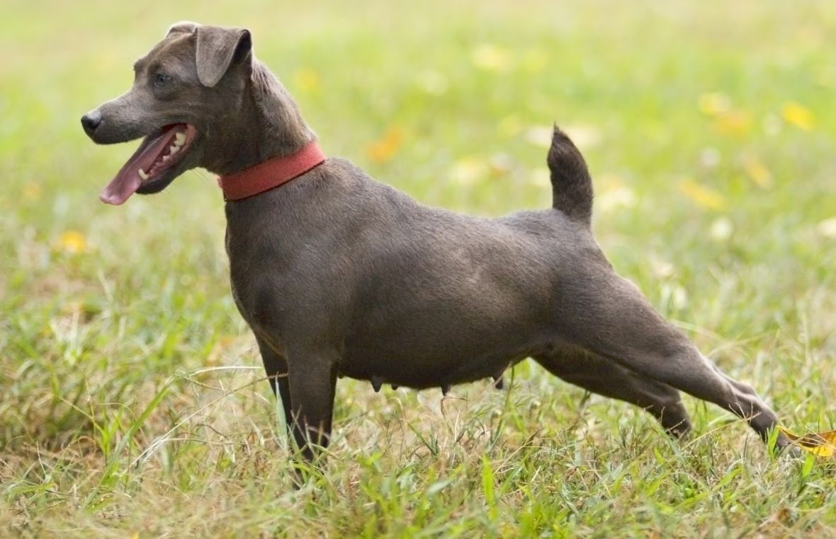 patterdale-terrier-dog