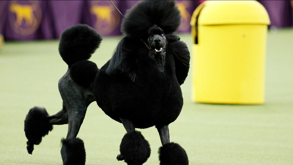 poodle-dog-health