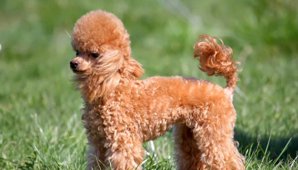 kid-friendly-dogs-poodle